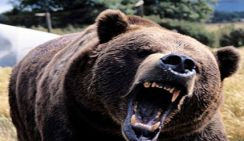 Кобыла спасла жеребенка от медведя