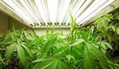 Топ-менеджеры планируют выращивать коноплю