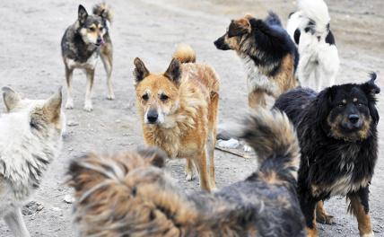 В Мурманске стая собак укусила ребенка сотню раз