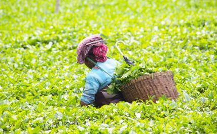 Цены на чай готовятся к броску на Эверест