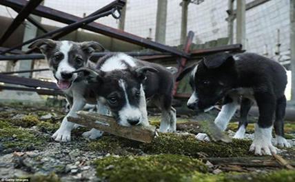 Чернобыльские щенки полетят в США