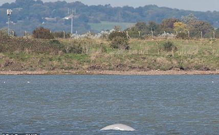 В лондонской Темзе нашли арктического кита