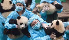 23 детеныша панды поздравляют с китайским Новым годом