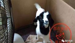 Сбитая машиной коза в последние минуты жизни родила на дороге