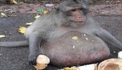 В Таиланде обезьяну отправили в лагерь для похудения