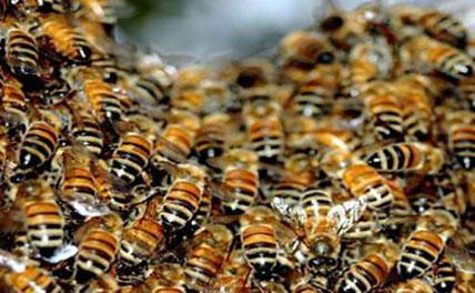 На школьников и учителей на северо-западе Китая напали пчелы