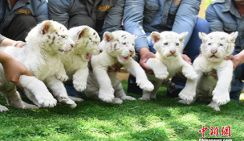 5 детенышей белого снежного тигра