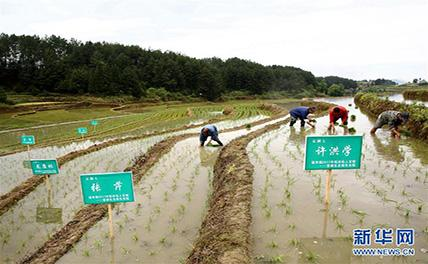 «Рис на заказ» способствует росту дохода китайских крестьян