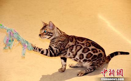 Выставка кошек прошла в Шэньяне