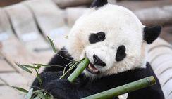 Новое исследование показало, что гиперзависимость большой панды от бамбука развилась 5000 лет назад