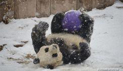 Большие панды из Пекинского зоопарка