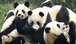 Опрос на ульцах Москвы: что Вы знаете о пандах?