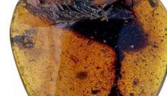 Палеонтологи нашли новый вид древней птицы в янтаре