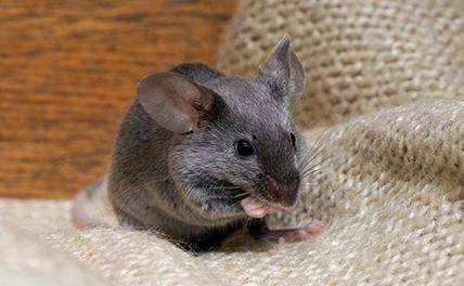 Удмуртию накрыла мышиная лихорадка