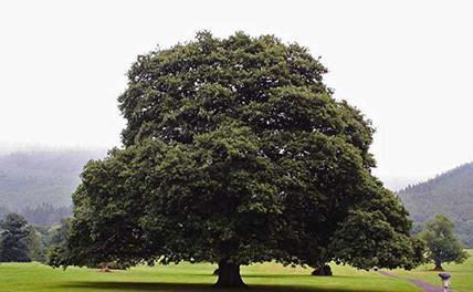 Кубанец срезал трехсотлетний дуб